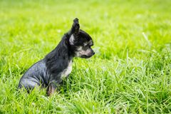 Portrait of black hairless puppy breed chinese crested dog sitting in the green grass on summer day. Profile Portrait of lovely black hairless puppy breed stock photos