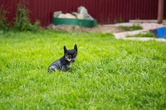Portrait of black hairless puppy breed chinese crested dog sitting in the green grass on summer day. Portrait of serious black hairless puppy breed chinese stock image