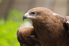Portrait of a black hawk Royalty Free Stock Photos