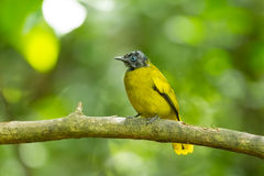 The portrait of Black-headed Bulbul Royalty Free Stock Photos