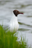 Portrait of Black-headed Gull, Chroicocephalus ridibundus, sitting on the green grass near the water Finland Stock Photo