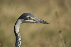 Portrait of a Black Headed Heron Stock Image