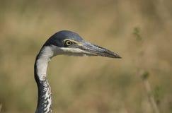 Portrait of a Black Headed Heron Stock Image