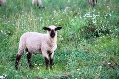 Portrait of black-headed sheep walking and eating on green pasture meadow Stock Photo
