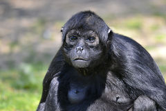 Portrait Black-headed spider monkey Royalty Free Stock Photo