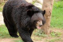 Portrait of black Himalayan bear Stock Photos