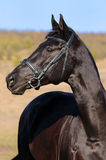 A portrait of  black horse. Portrait of beautiful raven sportive horse Royalty Free Stock Photography