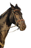 Portrait of black horse. Isolated Royalty Free Stock Photo