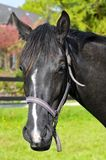 Portrait of black horse stock photography