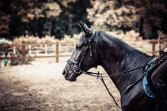 Portrait of black horse close-up. Exercise outdoors Stock Photography
