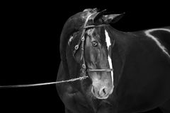 Portrait of black horse, isolated on black background. Black and white picture Royalty Free Stock Images