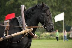 Portrait of black horse pulling the harness Stock Image