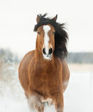 Portrait of black horse running in winter. The portrait of black horse running in winter Royalty Free Stock Image