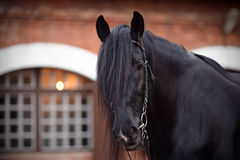 Portrait of a black horse. Black stallion. Portrait of a black horse. Thoroughbred horse. Beautiful horse Stock Photos