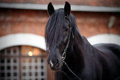 Portrait of a black horse. Stock Images