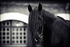 Portrait of a black horse. Black stallion. Portrait of a black horse. Thoroughbred horse. Beautiful horse Stock Images