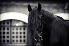 Portrait of a black horse. Stock Images