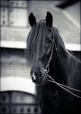 Portrait of a black horse. Royalty Free Stock Images