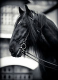 Portrait of a black horse. Black stallion. Portrait of a black horse. Thoroughbred horse. Beautiful horse Royalty Free Stock Image