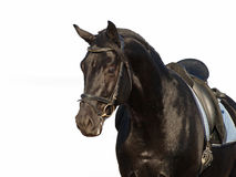 Portrait of  black horse Stock Images