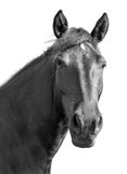 Portrait of a black horse on a white background stock photos