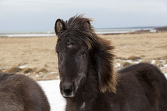 Portrait of a black Icelandic horse. On a meadow Royalty Free Stock Photography