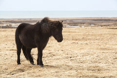 Portrait of a black Icelandic horse. On a meadow Stock Photos