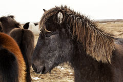 Portrait of a black Icelandic pony with brown mane. In a herd Royalty Free Stock Images