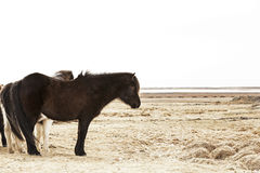 Portrait of a black Icelandic pony. In a herd Royalty Free Stock Images