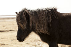 Portrait of a black Icelandic pony. In spring Stock Photo