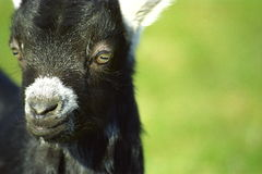 Portrait of black kid goat. Portrait of black goat kid outdoors with green background Royalty Free Stock Image