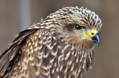 Portrait of Black Kite Royalty Free Stock Photos