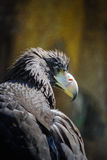 Portrait of Black Kite. Portrait of a Black Kite with staring eye Royalty Free Stock Photography