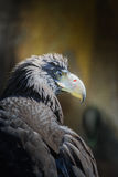 Portrait of Black Kite. Portrait of a Black Kite with staring eye Stock Photography