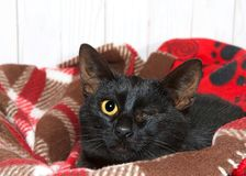 Portrait of a black kitten with eye missing Royalty Free Stock Image