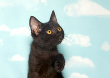 Portrait of a black kitten looking up. Portrait of one small black kitten with yellow eyes, looking up and to viewers right, one paw up ready to reach. Blue Stock Images
