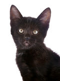 Portrait of a black kitten. Royalty Free Stock Images