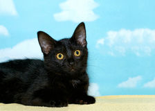 Portrait of black kitten. Portrait of a black tabby kitten laying on a yellow blanket looking off to the side, hopeful for a forever home. Blue background with Stock Photo