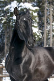Portrait of black Kladruber horse Stock Images