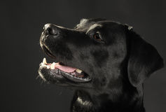 Portrait of a black labrador Royalty Free Stock Image