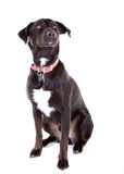 Portrait of black labrador cross Stock Image