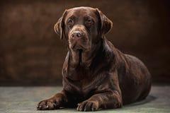 The portrait of a black Labrador dog taken against a dark backdrop. A portrait of a black Labrador dog taken against a black backdrop at studio Royalty Free Stock Image