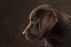 The portrait of a black Labrador dog taken against a dark backdrop. A portrait of a black Labrador dog taken against a black backdrop at studio Royalty Free Stock Photos