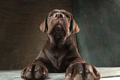 The portrait of a black Labrador dog taken against a dark backdrop. A portrait of a black Labrador dog taken against a black backdrop at studio Royalty Free Stock Photo