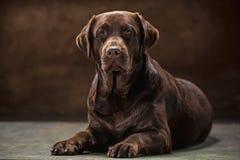 The portrait of a black Labrador dog taken against a dark backdrop. A portrait of a black Labrador dog taken against a black backdrop at studio Stock Image