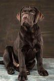 The portrait of a black Labrador dog taken against a dark backdrop. A portrait of a black Labrador dog taken against a black backdrop at studio stock images
