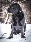 Portrait of Black Labrador Retriever in the winter. Winter time Royalty Free Stock Photography