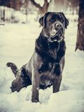 Portrait of Black Labrador Retriever in the winter. Winter time.n Stock Image