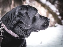 Portrait of Black Labrador Retriever in the winter. Winter time.n Stock Photo