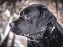 Portrait of Black Labrador Retriever in the winter. Royalty Free Stock Photos